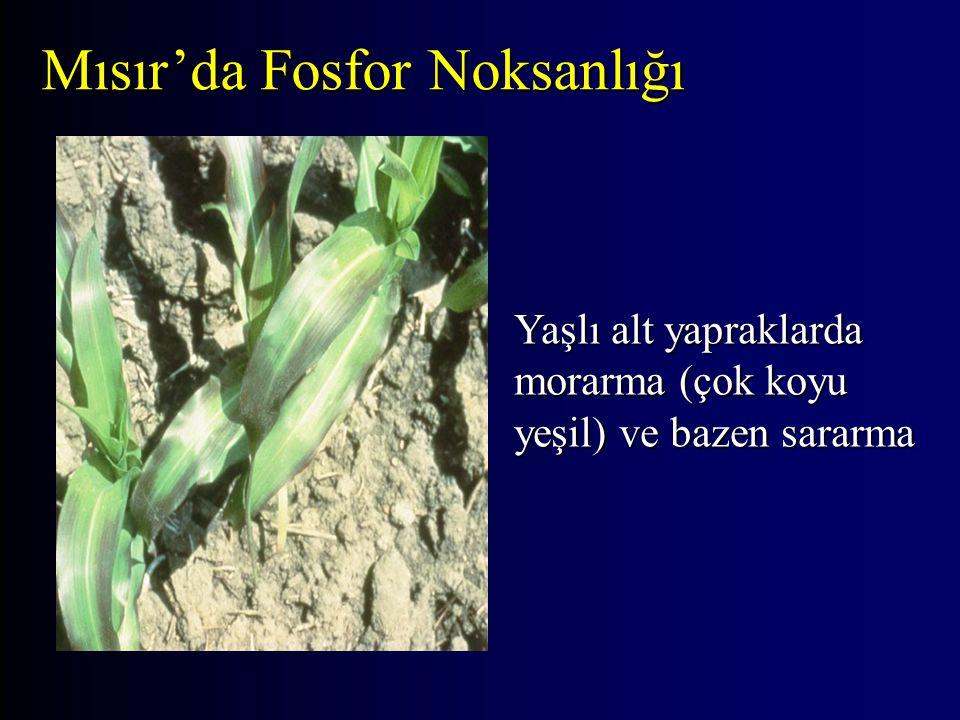 Yaşlı alt yapraklarda morarma (çok koyu yeşil) ve bazen sararma Mısır'da Fosfor Noksanlığı
