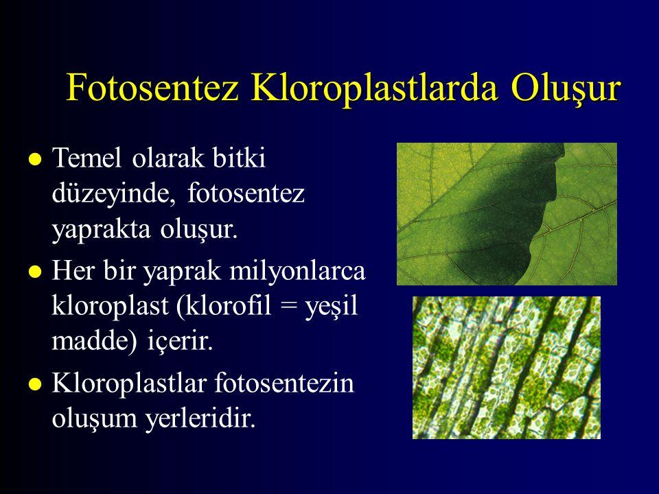 Fotosentez Kloroplastlarda Oluşur l Temel olarak bitki düzeyinde, fotosentez yaprakta oluşur. l Her bir yaprak milyonlarca kloroplast (klorofil = yeşi
