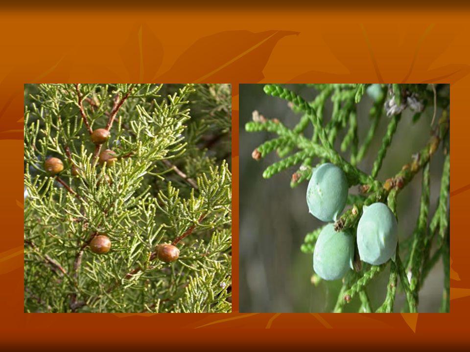 Sürüngen çalılardan büyük ağaçlara kadar çok çeşitli türleri olan ardıç, hemen hemen bütün bölgelerimiz yüksek dağlık kesimlerinde doğal yayılış gösterir.