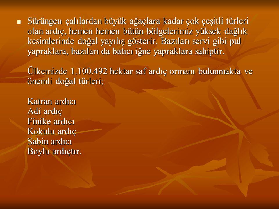 DİŞBUDAK