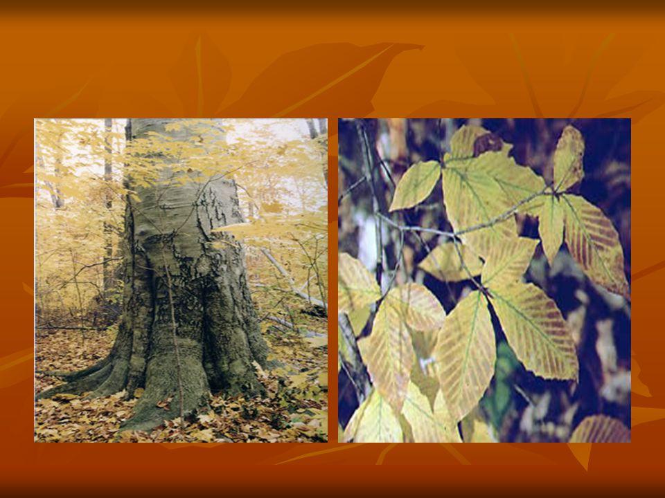 Daha çok kuzey bölgelerimizde doğal yayılış göstermekle birlikte kayın ağacı güneydeki Amanoslar da da yayılış gösterir.