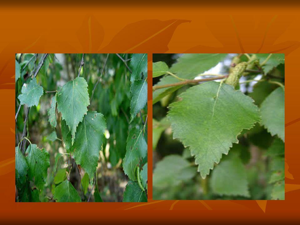 Anadolu nun kuzeydoğusundaki yüksek kesimlerde tek başına ya da başka ağaçlarla karışık olarak bulunan huşlar 10-20 m ye kadar boylanabilen çeşitli türlere sahip, soğuğa dayanıklı ağaçlardır.