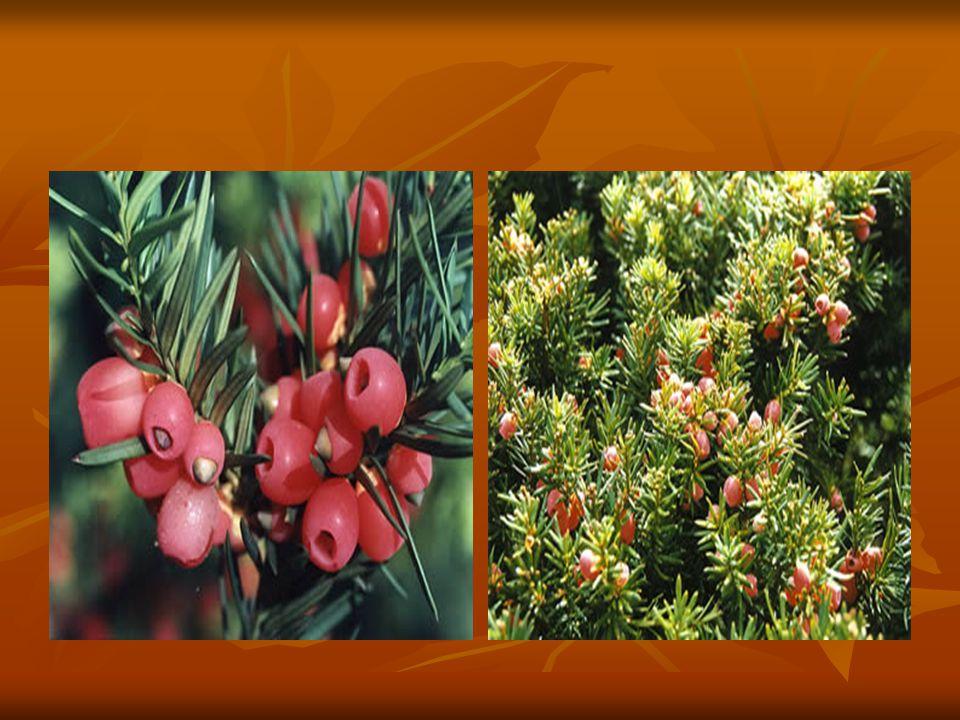Avrupa, Akdeniz ülkeleri ve Kafkasya da yayılış gösteren porsuk ağacı ülkemizde kuzeyden güneye birçok yörede görülür.