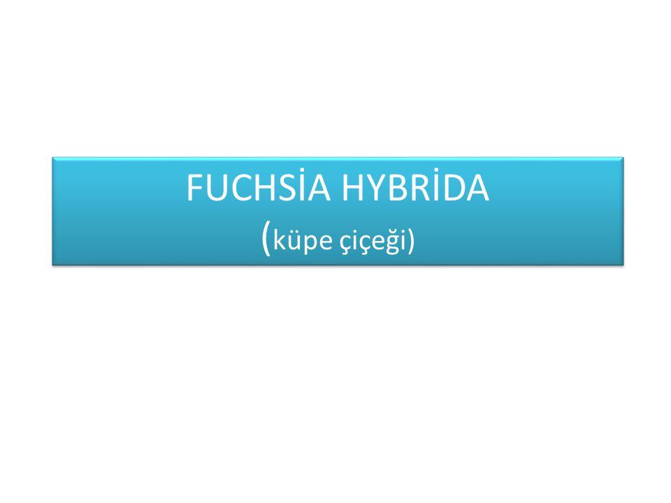 FUCHSİA HYBRİDA ( küpe çiçeği)