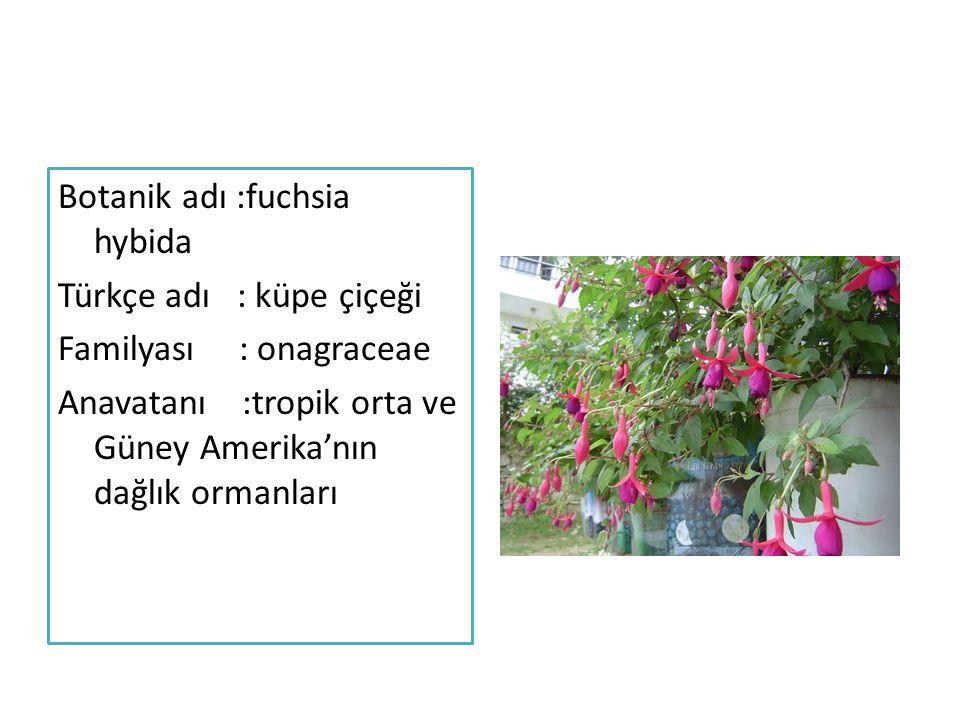 Botanik adı :fuchsia hybida Türkçe adı : küpe çiçeği Familyası : onagraceae Anavatanı :tropik orta ve Güney Amerika'nın dağlık ormanları