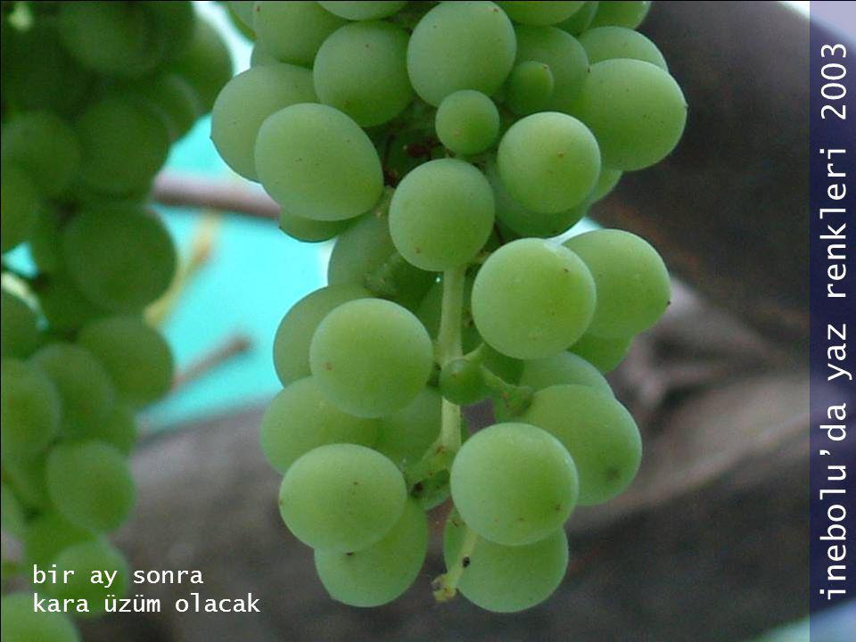 bir ay sonra kara üzüm olacak inebolu'da yaz renkleri 2003