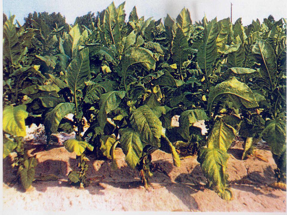 Amerika'da Tütünün Tarihçesi (II)  1800.Kanada'da ticari amaçla tütün ekimi yapıldı.