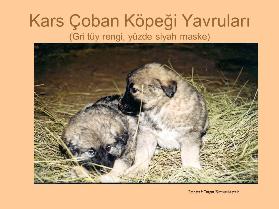 Kars Çoban Köpeği Yavruları (Gri tüy rengi, yüzde siyah maske) Fotoğraf: Turgut Kırmızıbayrak