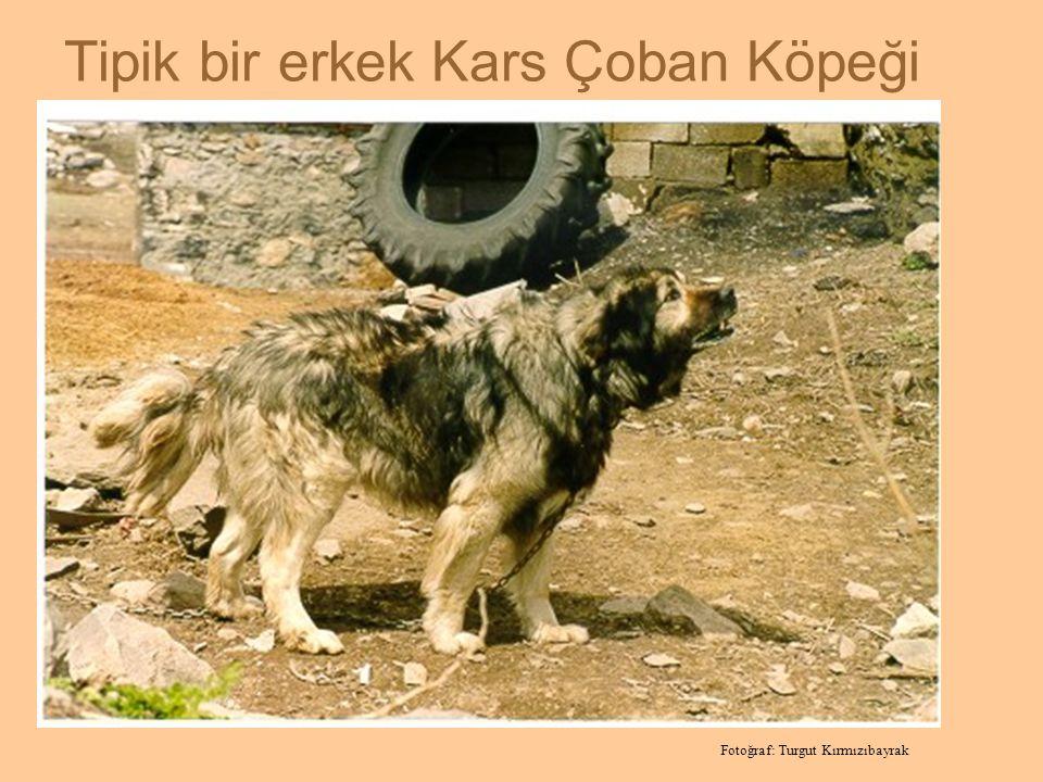 Tipik bir erkek Kars Çoban Köpeği