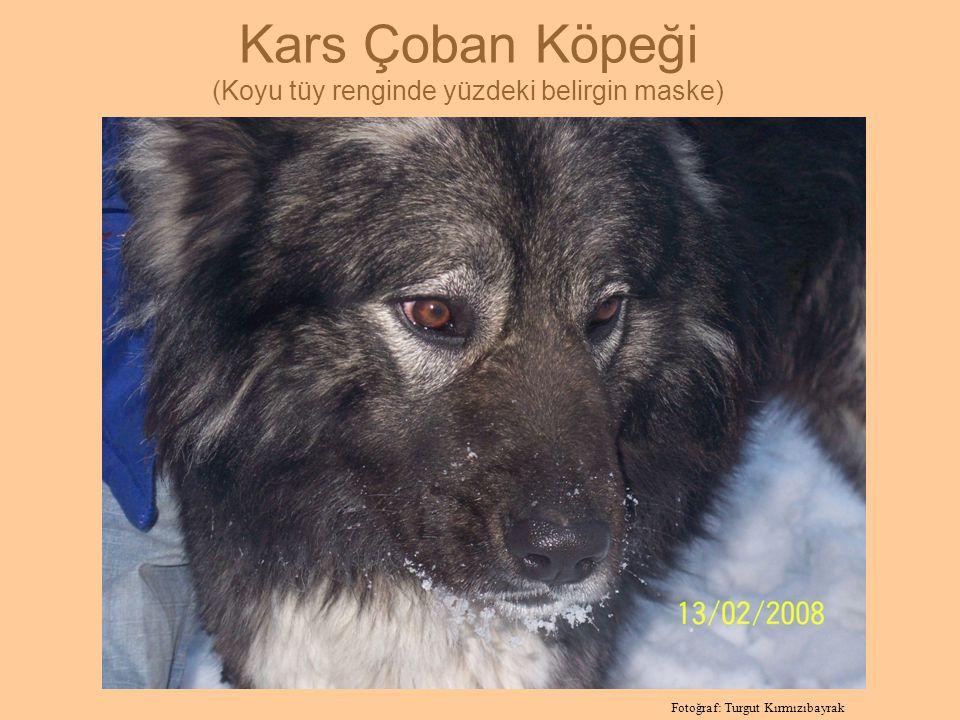 Kars Çoban Köpeği (Koyu tüy renginde yüzdeki belirgin maske) Fotoğraf: Turgut Kırmızıbayrak