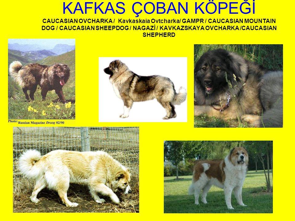 KAFKAS ÇOBAN KÖPEĞİ CAUCASIAN OVCHARKA / Kavkaskaia Ovtcharka/ GAMPR / CAUCASIAN MOUNTAIN DOG / CAUCASIAN SHEEPDOG / NAGAZİ / KAVKAZSKAYA OVCHARKA /CAUCASIAN SHEPHERD