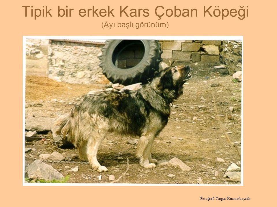 Tipik bir erkek Kars Çoban Köpeği (Ayı başlı görünüm) Fotoğraf: Turgut Kırmızıbayrak