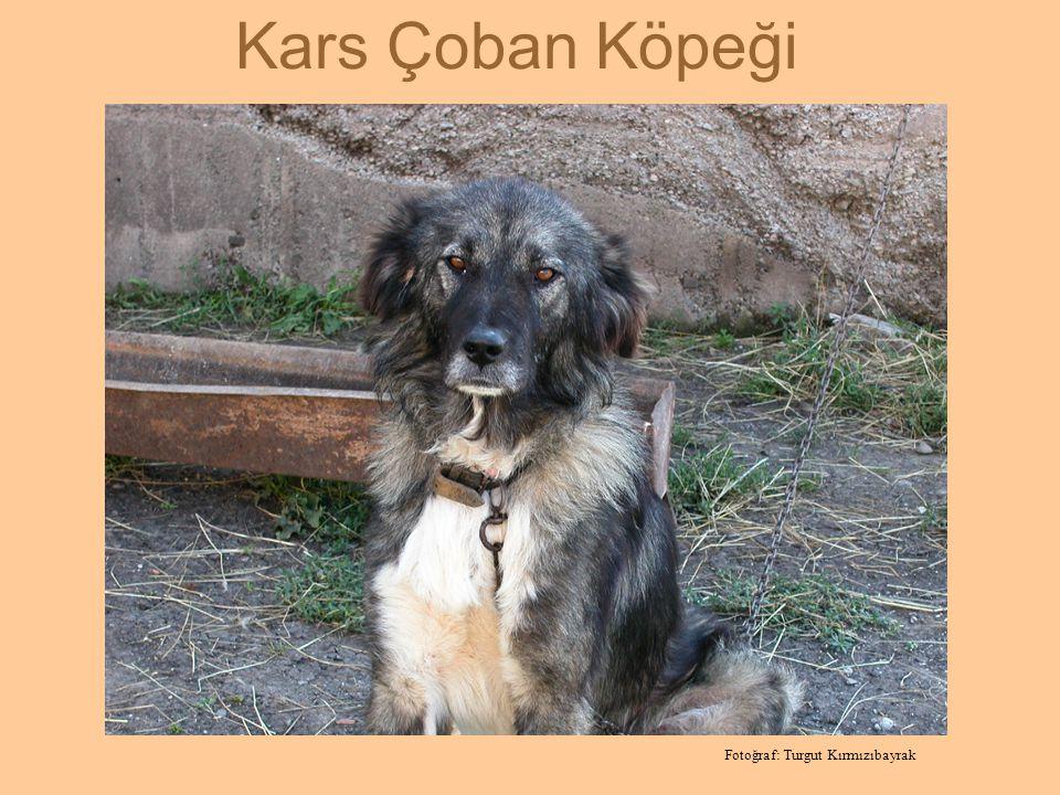 Tipik bir erkek Kars Çoban Köpeği Fotoğraf: Turgut Kırmızıbayrak