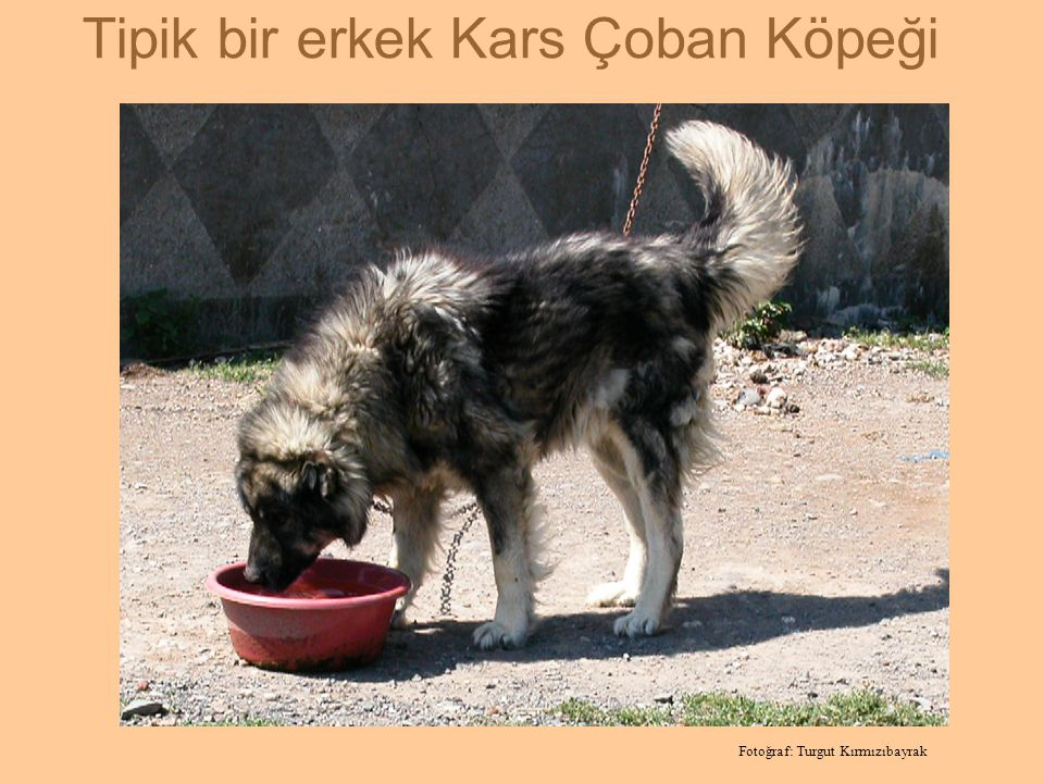 Kaynak:http://www.turkpatent.gov.tr/portal/default2.jsp?sayfa=431 ''KARS TÜRK ÇOBAN KÖPEĞİ'' adıyla yapılan tescil belgesi