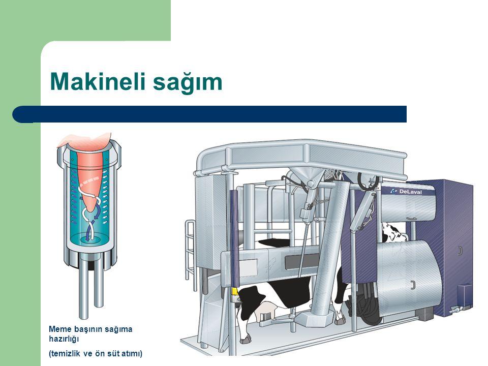 Makineli sağım Meme başının sağıma hazırlığı (temizlik ve ön süt atımı)