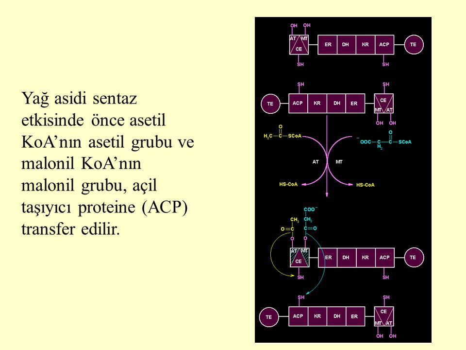 11 Yağ asidi sentaz etkisinde önce asetil KoA'nın asetil grubu ve malonil KoA'nın malonil grubu, açil taşıyıcı proteine (ACP) transfer edilir.