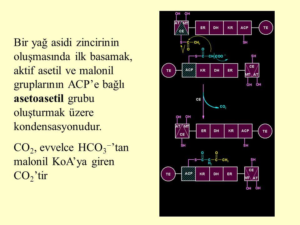 13 Bir yağ asidi zincirinin oluşmasında ilk basamak, aktif asetil ve malonil gruplarının ACP'e bağlı asetoasetil grubu oluşturmak üzere kondensasyonud