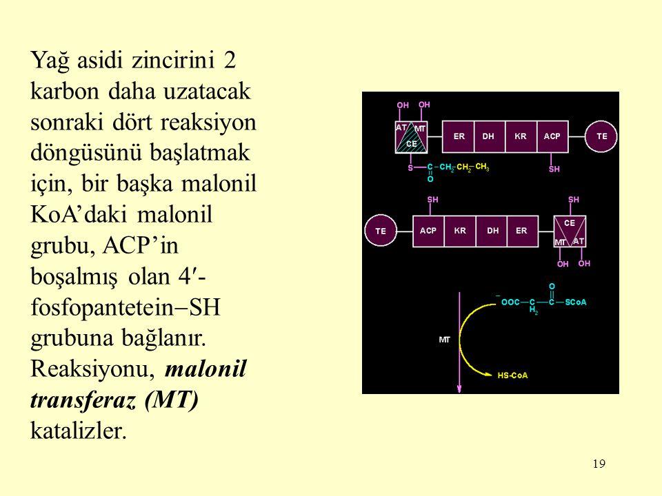 19 Yağ asidi zincirini 2 karbon daha uzatacak sonraki dört reaksiyon döngüsünü başlatmak için, bir başka malonil KoA'daki malonil grubu, ACP'in boşalm
