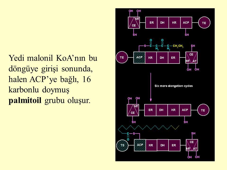 22 Yedi malonil KoA'nın bu döngüye girişi sonunda, halen ACP'ye bağlı, 16 karbonlu doymuş palmitoil grubu oluşur.