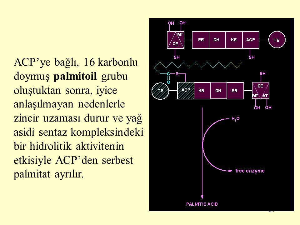 23 ACP'ye bağlı, 16 karbonlu doymuş palmitoil grubu oluştuktan sonra, iyice anlaşılmayan nedenlerle zincir uzaması durur ve yağ asidi sentaz kompleksi