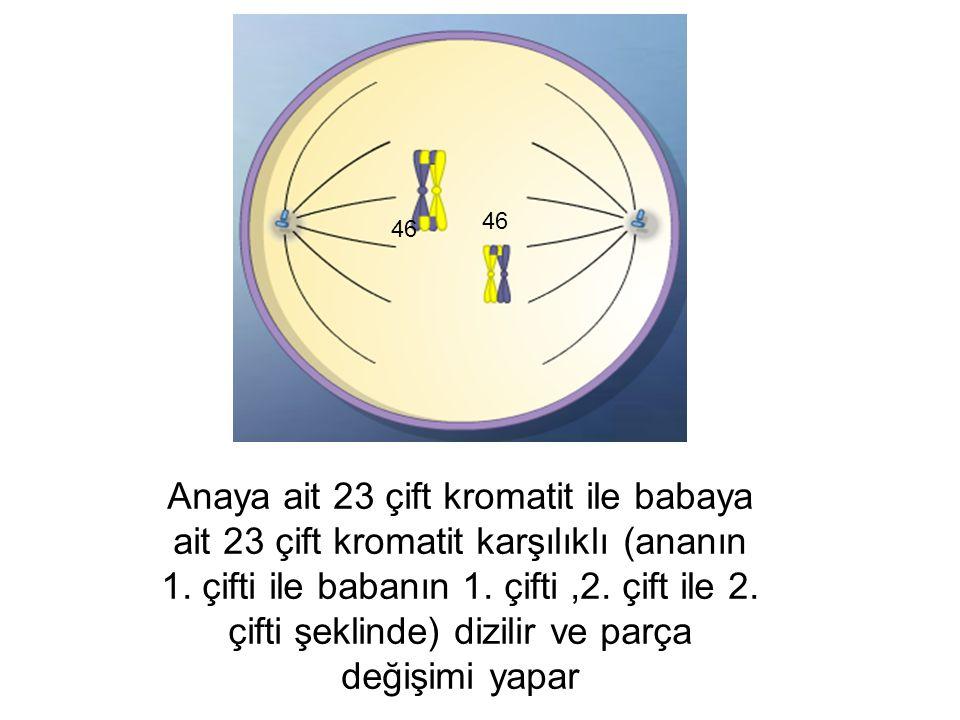 Anaya ait 23 çift kromatit ile babaya ait 23 çift kromatit karşılıklı (ananın 1. çifti ile babanın 1. çifti,2. çift ile 2. çifti şeklinde) dizilir ve
