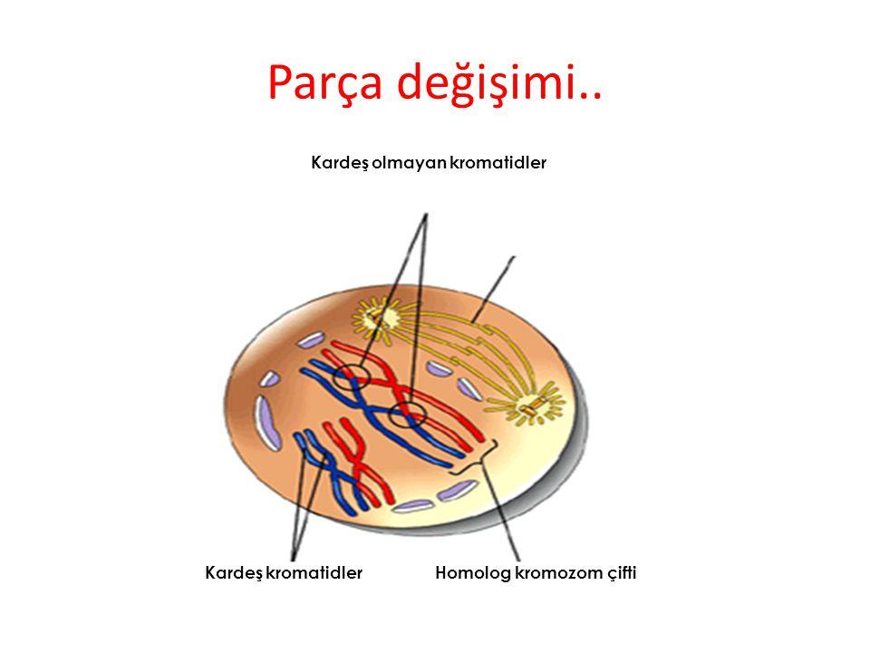 Parça değişimi.. Kardeş olmayan kromatidler Homolog kromozom çiftiKardeş kromatidler