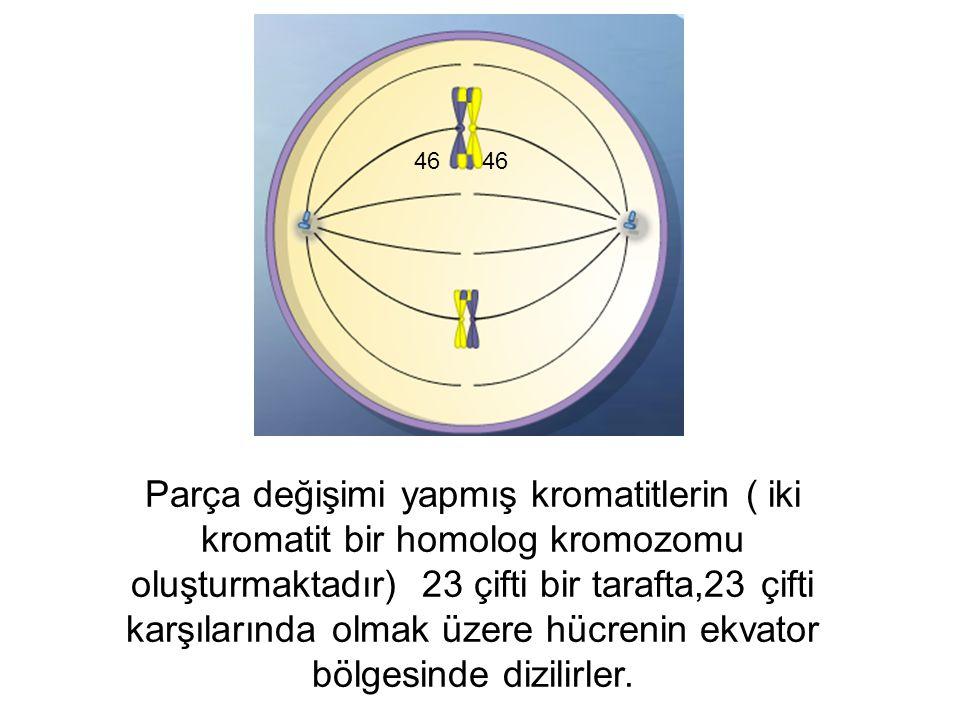 Parça değişimi yapmış kromatitlerin ( iki kromatit bir homolog kromozomu oluşturmaktadır) 23 çifti bir tarafta,23 çifti karşılarında olmak üzere hücre