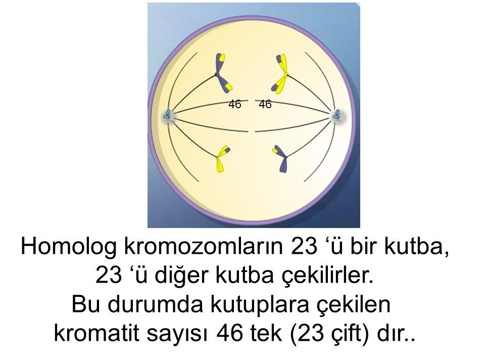 Homolog kromozomların 23 'ü bir kutba, 23 'ü diğer kutba çekilirler. Bu durumda kutuplara çekilen kromatit sayısı 46 tek (23 çift) dır.. 46
