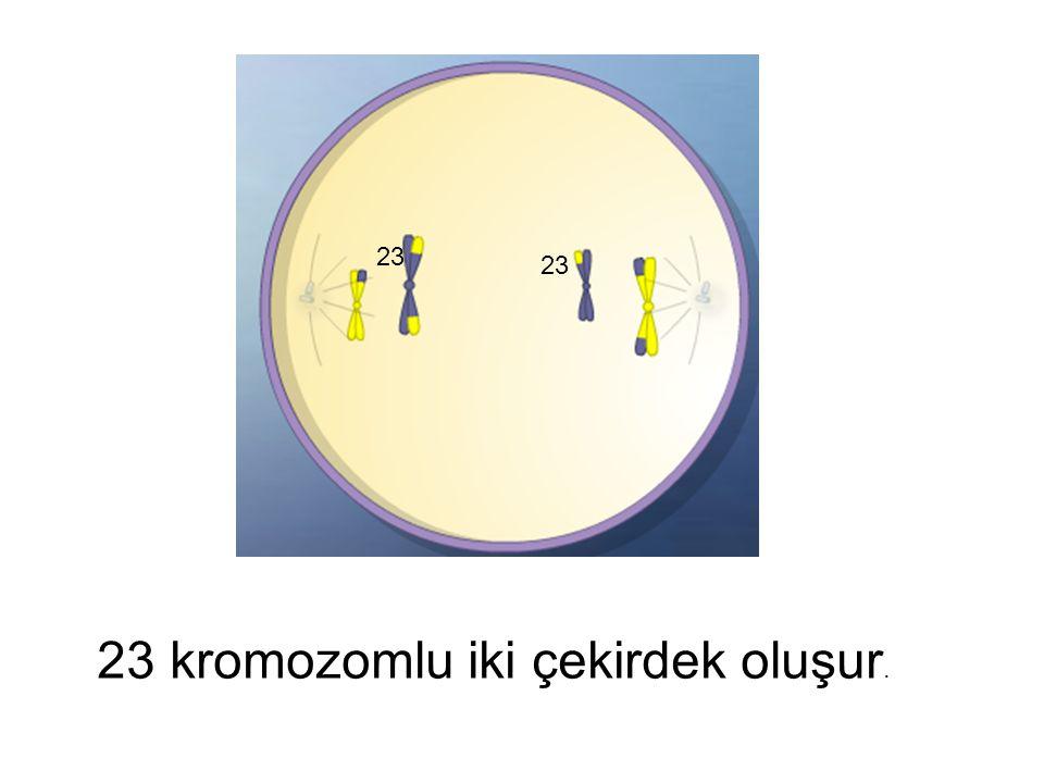 23 kromozomlu iki çekirdek oluşur. 23