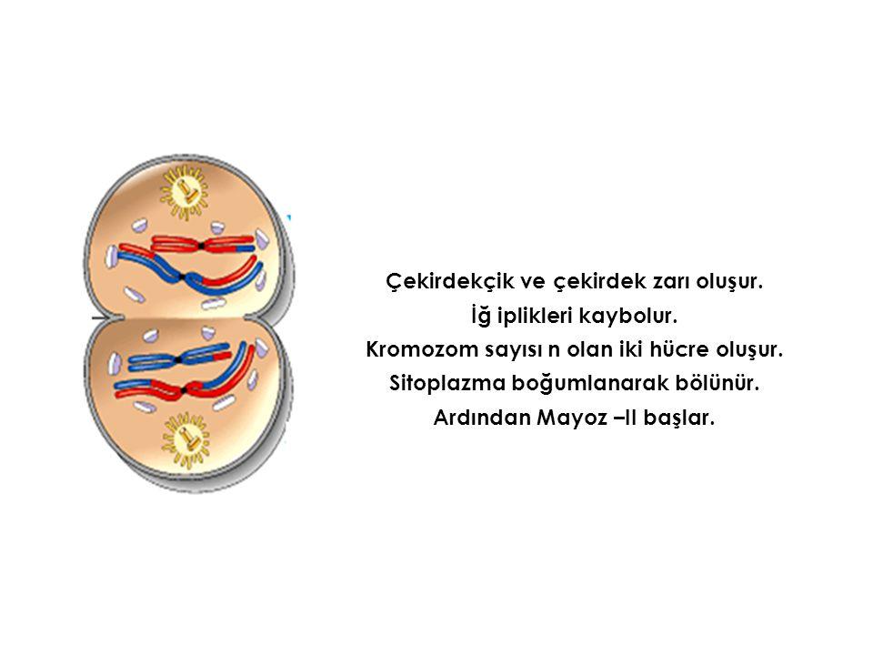 Çekirdekçik ve çekirdek zarı oluşur. İğ iplikleri kaybolur. Kromozom sayısı n olan iki hücre oluşur. Sitoplazma boğumlanarak bölünür. Ardından Mayoz –