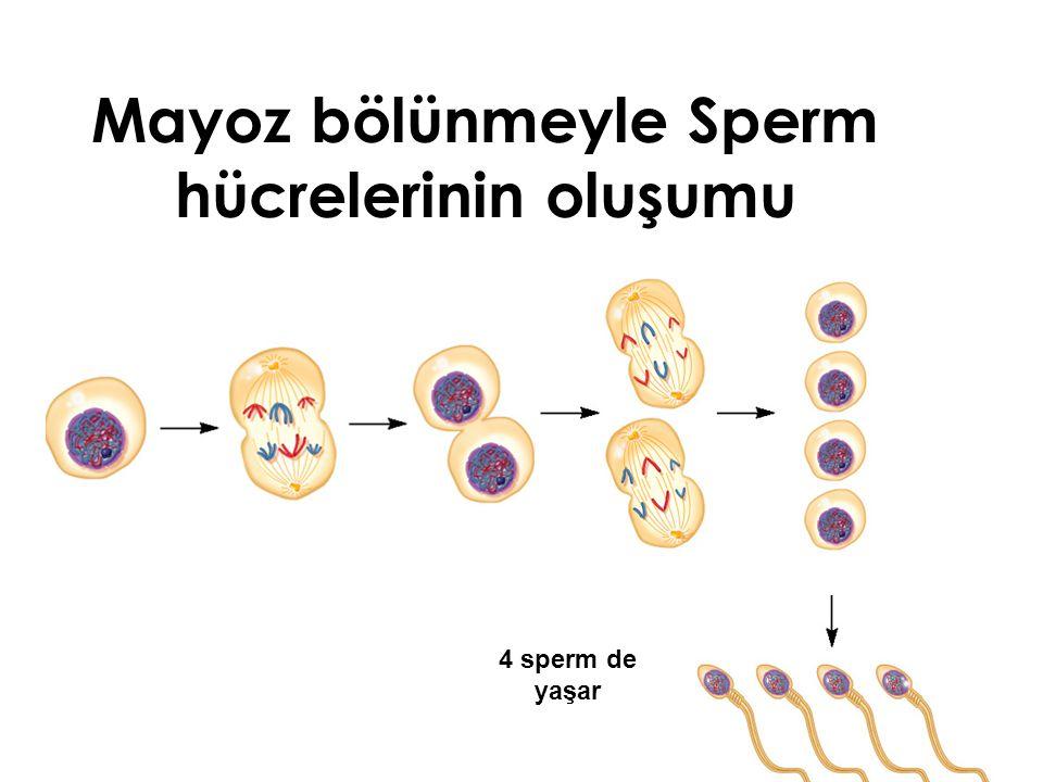 Mayoz bölünmeyle Sperm hücrelerinin oluşumu 4 sperm de yaşar