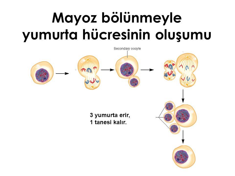 Mayoz bölünmeyle yumurta hücresinin oluşumu 3 yumurta erir, 1 tanesi kalır.