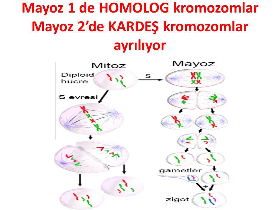 Mayoz 1 de HOMOLOG kromozomlar Mayoz 2'de KARDEŞ kromozomlar ayrılıyor