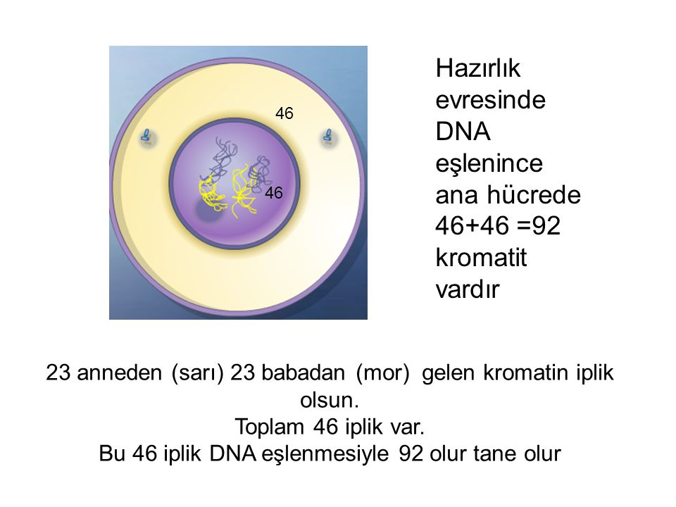 23 anneden (sarı) 23 babadan (mor) gelen kromatin iplik olsun. Toplam 46 iplik var. Bu 46 iplik DNA eşlenmesiyle 92 olur tane olur 46 Hazırlık evresin