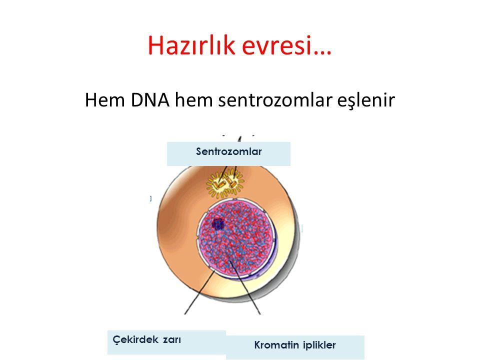 Hazırlık evresi… Hem DNA hem sentrozomlar eşlenir Sentrozomlar Çekirdek zarı Kromatin iplikler