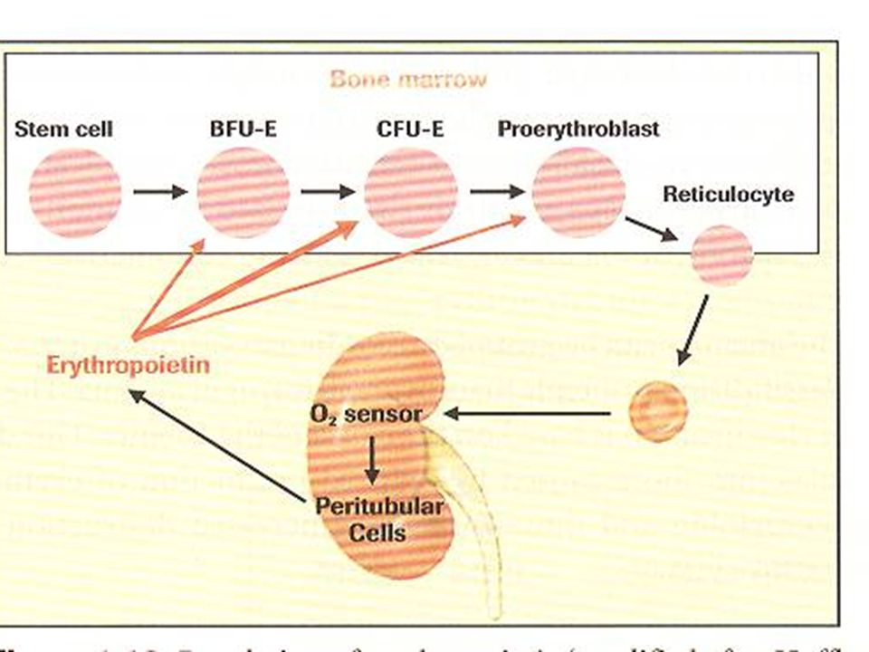 MCV (Ortalama eritrosit hacmi) Normal eritrositlerin hacimleri 80-100 fl'dir.