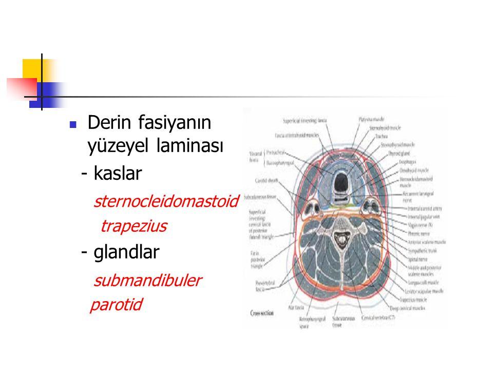 Derin fasiyanın yüzeyel laminası - kaslar sternocleidomastoid trapezius - glandlar submandibuler parotid