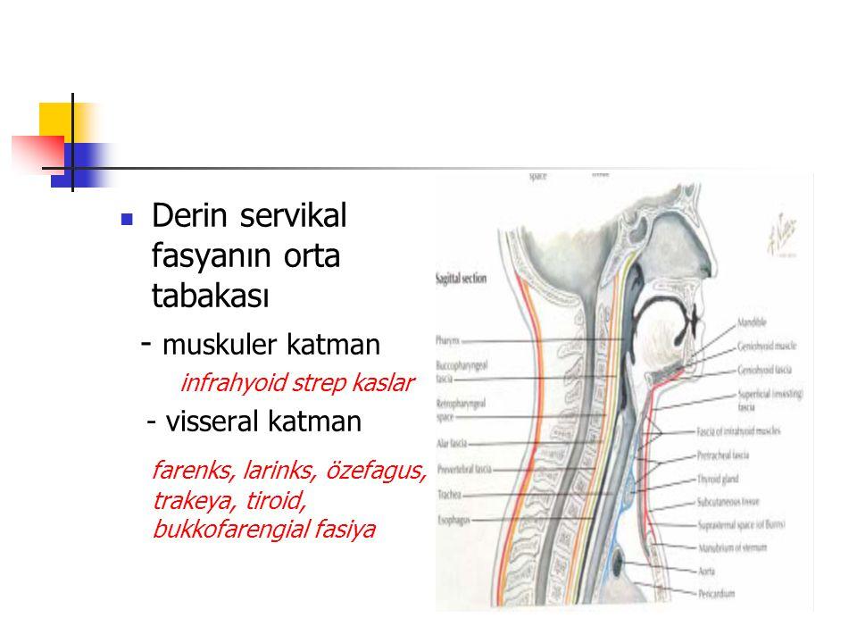 Derin servikal fasyanın orta tabakası - muskuler katman infrahyoid strep kaslar - visseral katman farenks, larinks, özefagus, trakeya, tiroid, bukkofarengial fasiya