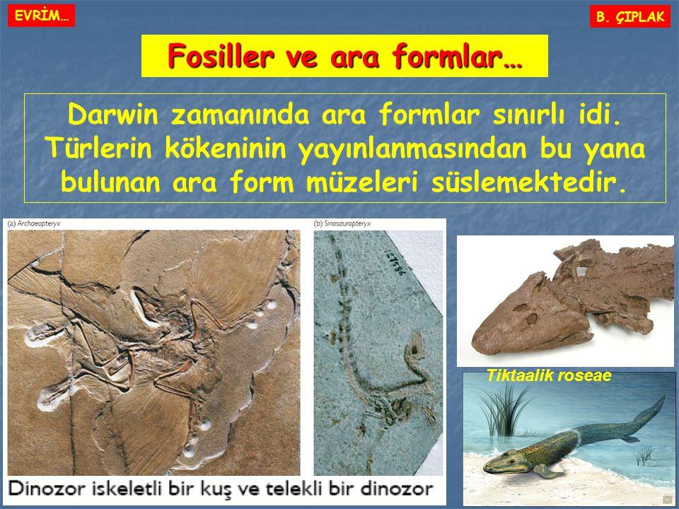 Fosiller ve ara formlar… B. ÇIPLAK Darwin zamanında ara formlar sınırlı idi. Türlerin kökeninin yayınlanmasından bu yana bulunan ara form müzeleri süs