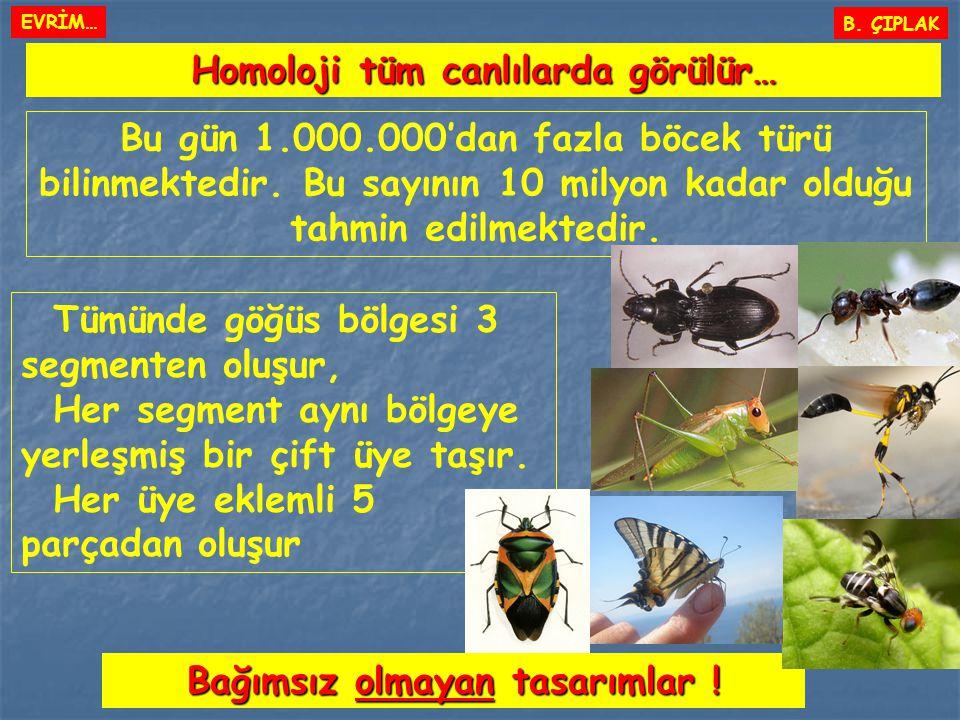 Homoloji tüm canlılarda görülür… B. ÇIPLAK Bağımsız olmayan tasarımlar ! Bu gün 1.000.000'dan fazla böcek türü bilinmektedir. Bu sayının 10 milyon kad