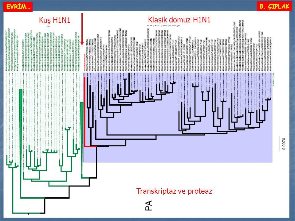 Klasik domuz H1N1 Kuş H1N1 Transkriptaz ve proteaz B. ÇIPLAK EVRİM…