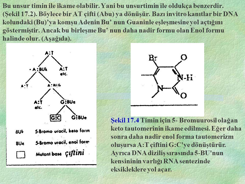 Bu unsur timin ile ikame olabilir. Yani bu unsurtimin ile oldukça benzerdir. (Şekil 17.2). Böylece bir AT çifti (Abu) ya dönüşür. Bazı invitro kanıtla