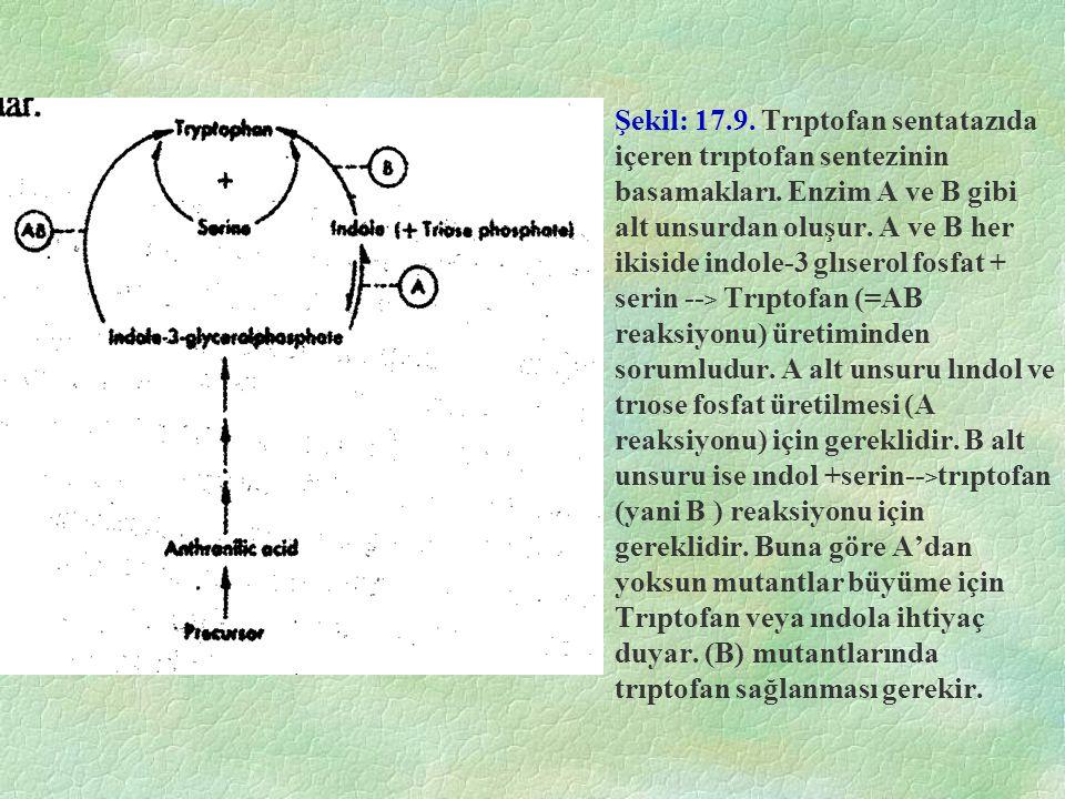 Şekil: 17.9. Trıptofan sentatazıda içeren trıptofan sentezinin basamakları. Enzim A ve B gibi alt unsurdan oluşur. A ve B her ikiside indole-3 glısero