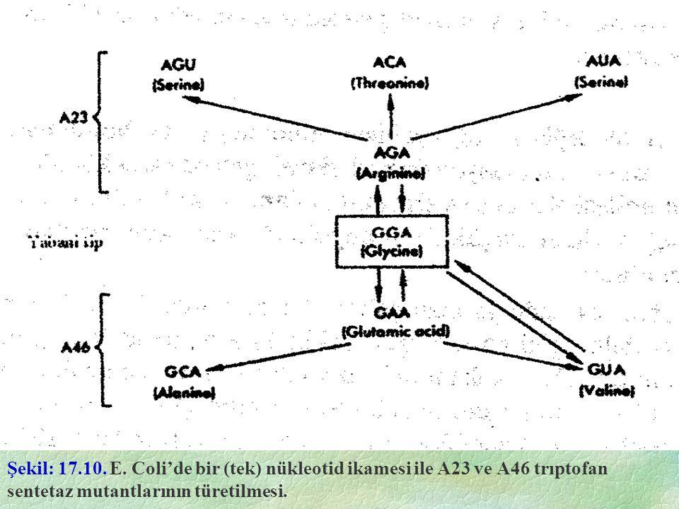Şekil: 17.10. E. Coli'de bir (tek) nükleotid ikamesi ile A23 ve A46 trıptofan sentetaz mutantlarının türetilmesi.