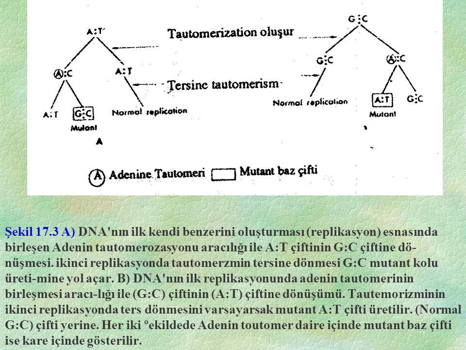 Şekil 17.3 A) DNA'nın ilk kendi benzerini oluşturması (replikasyon) esnasında birleşen Adenin tautomerozasyonu aracılığı ile A:T çiftinin G:C çiftine