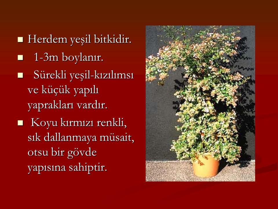 Herdem yeşil bitkidir.Herdem yeşil bitkidir. 1-3m boylanır.
