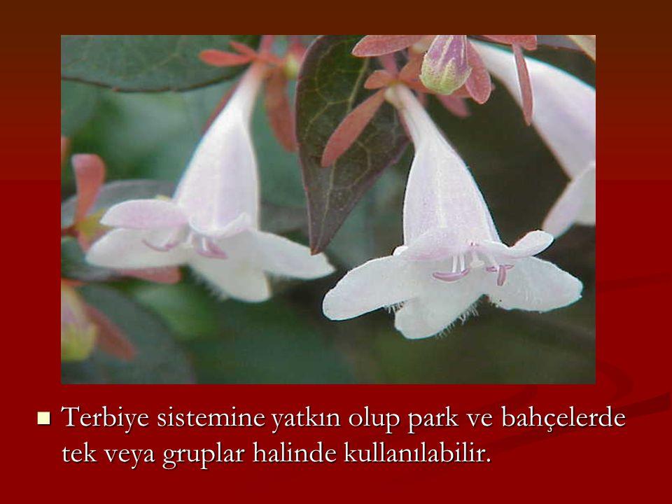Terbiye sistemine yatkın olup park ve bahçelerde tek veya gruplar halinde kullanılabilir.