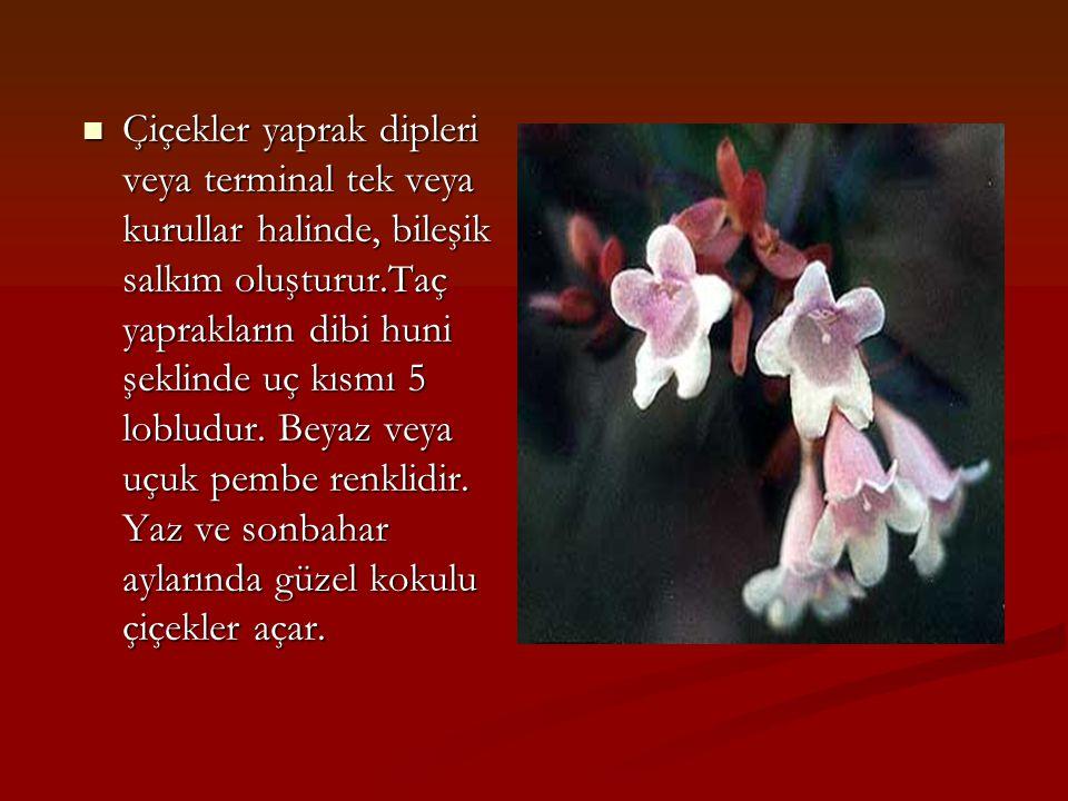 Temmuz ayından Eylül ayına kadar dalların ucunda 15-25cm uzunluğunda, salkım biçiminde çiçekler açar.