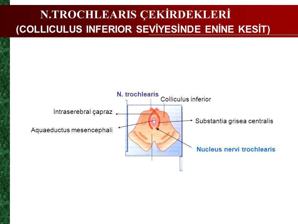 Nucleus nervi trochlearis (COLLICULUS INFERIOR SEVİYESİNDE ENİNE KESİT) N.TROCHLEARIS ÇEKİRDEKLERİ N. trochlearis Colliculus inferior Intraserebral ça