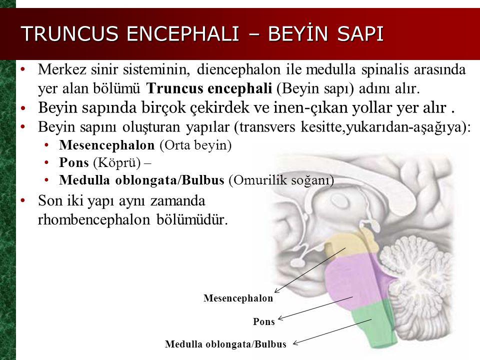 TRUNCUS ENCEPHALI – BEYİN SAPI Son iki yapı aynı zamanda rhombencephalon bölümüdür. Merkez sinir sisteminin, diencephalon ile medulla spinalis arasınd